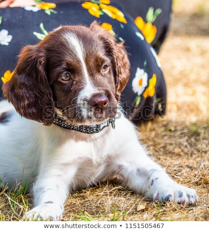 Working type english springer spaniel pet gundog in a field of green crops Stock photo © chrisga