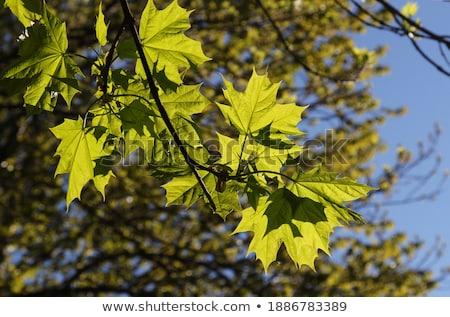 Verde jovem folhas brilhante céu Foto stock © Moravska