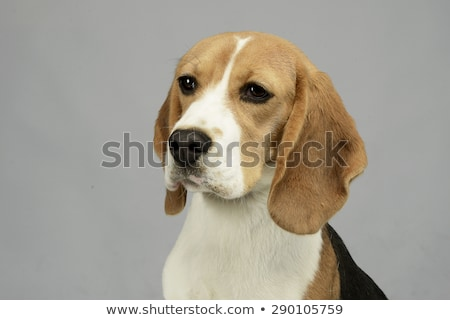 Beagle портрет фото студию Смотреть белый Сток-фото © vauvau