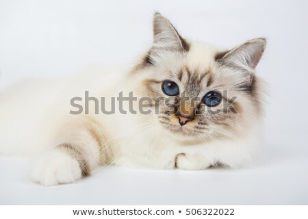 Grey domestic cat  in photo studio Stock photo © vauvau