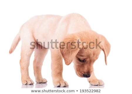 izolált · barna · kutya · néz · valami · fehér · kutya - stock fotó © jiaking1