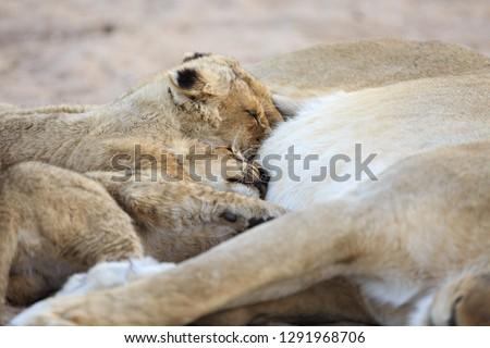 oroszlán · medvebocs · fektet · száraz · park · Dél-Afrika - stock fotó © simoneeman