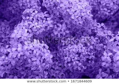 сирень филиала фиолетовый Blossom цветок рождения Сток-фото © vrvalerian
