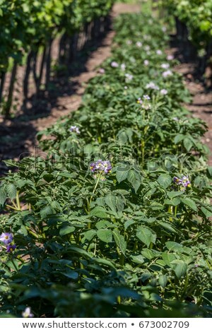 Potato plants between vineyards from Hungary Stock photo © digoarpi