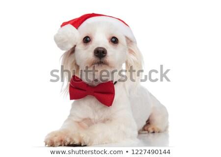 Stock foto: Gentleman Bichon Wearing A Santa Hat Lying