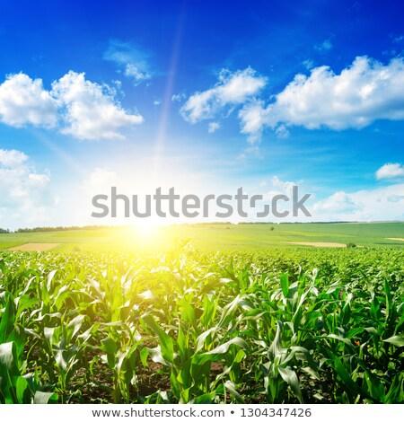 Napfelkelte kukorica mező fiatal természetes terv Stock fotó © Kotenko
