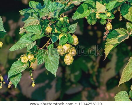 Hop cones and colorful bug. Defocused background. Stock photo © serge001