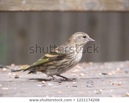 feeding pine siskin stock photo © ca2hill
