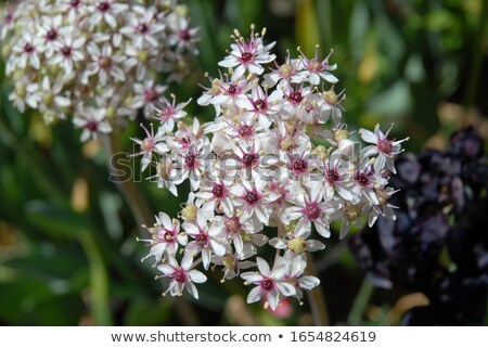 Stock photo: White Allium ornamental flowers