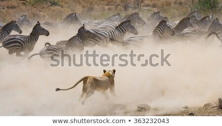 平野 · シマウマ · 公園 · ナミビア · 自然 · 動物 - ストックフォト © meinzahn