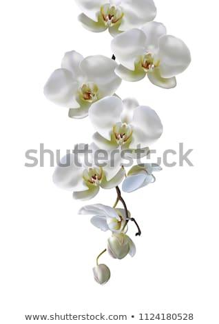 orchid decoration isolated stock photo © jonnysek