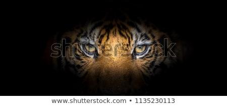 Tigre em pé branco preto papel de parede sozinho Foto stock © bluering