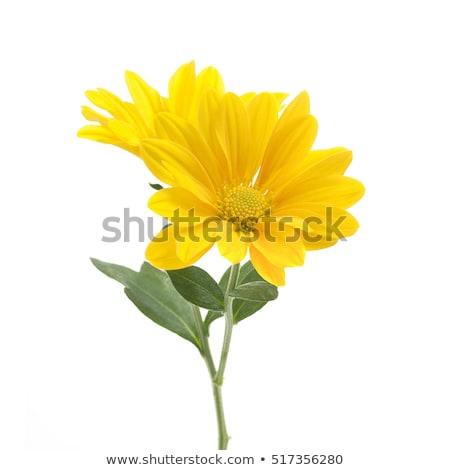 Geel chrysant bos schoonheid klein Stockfoto © zhekos