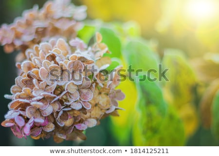 Frosted Hydrangea Leaves Stock photo © StephanieFrey