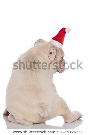 Święty · mikołaj · francuski · bulldog · patrząc · strona · biały - zdjęcia stock © feedough