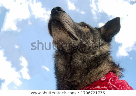 curious wolf dog stands and looks up Stock photo © feedough