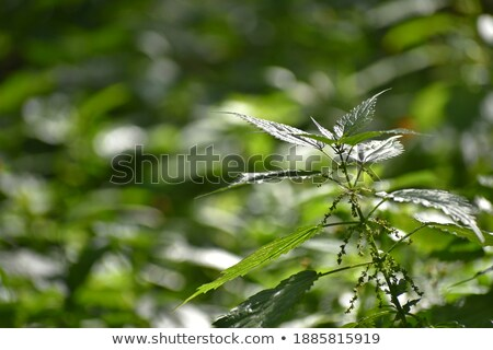 nettle, green burning plant in the hands Stock photo © studiostoks