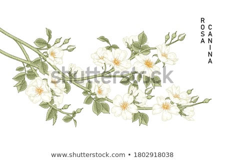 dog rose stock photo © jsnover