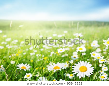 Daisy цветы области красивой белый свежие Сток-фото © Anna_Om