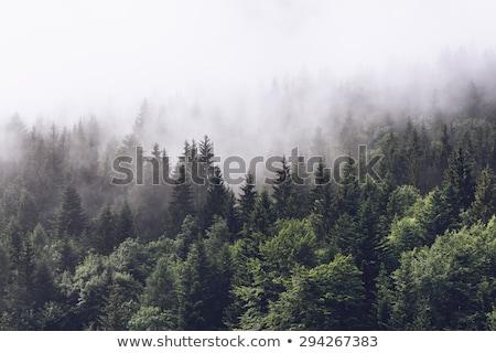 Foggy Mountainous Evergreen Forest Stock photo © mtilghma