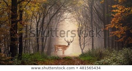 鹿 バック 立って 動物 森林 ストックフォト © taviphoto