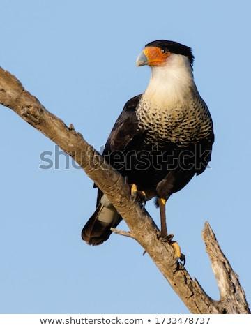 Caracara Bird Face Stock photo © jkraft5