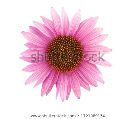 echinacea flower closeup stock photo © leonardi