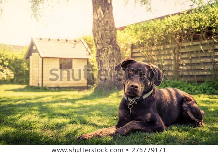 Pet Brown Dog in Garden Stock photo © rhamm