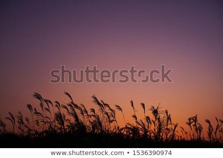 Campo japonés plata hierba puesta de sol Foto stock © shihina