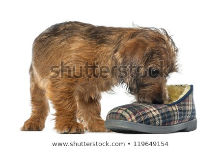 mixed breed dog smells in a white background stock photo © vauvau