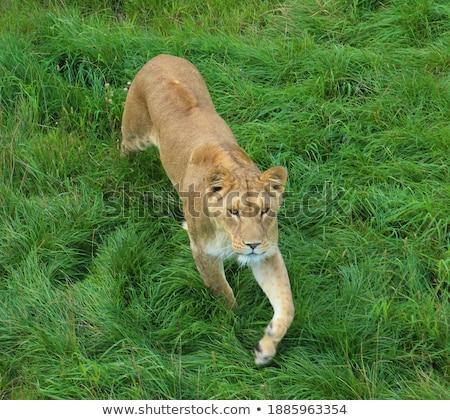 Aslan yürüyüş yüksek çim merkezi seyahat Stok fotoğraf © simoneeman