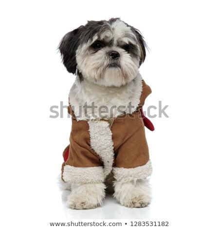 cute shih tzu wearing brown winter costume looks to side Stock photo © feedough