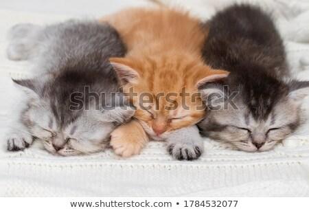 Bonitinho pequeno britânico shorthair gatinho cama Foto stock © dashapetrenko