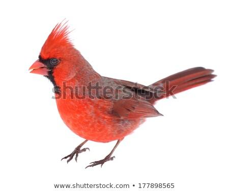 Northern cardinal or Cardinalis cardinalis isolated on white  Stock photo © shawlinmohd