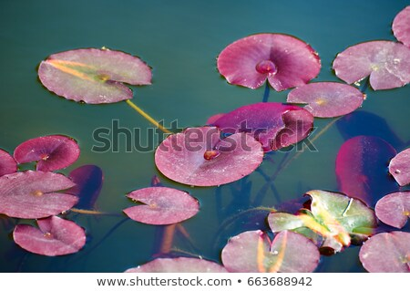 Red Lily Pad Leaf Stock photo © ca2hill