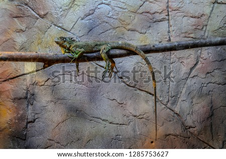 Stockfoto: Leguaan · boom · kruipen · poseren · dier · mannelijke