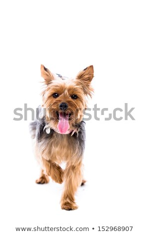 alert little yorkie standing facing the camera stock photo © fantasticrabbit