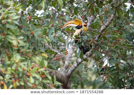 Great Hornbill or Buceros bicornis large birds in Thailan Stock photo © Yongkiet