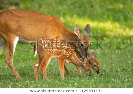 Cute deer on a green field Stock photo © Sportactive