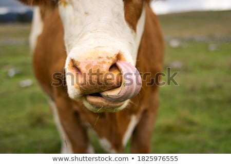 detail of muzzle of grazing cow   Stock photo © meinzahn
