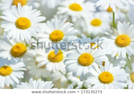 Large white daisies Stock photo © Supertrooper