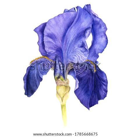 Azul iris flor primavera lluvia planta Foto stock © asturianu