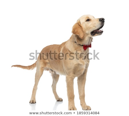side view of cute goden retriever with tongue exposed stock photo © feedough