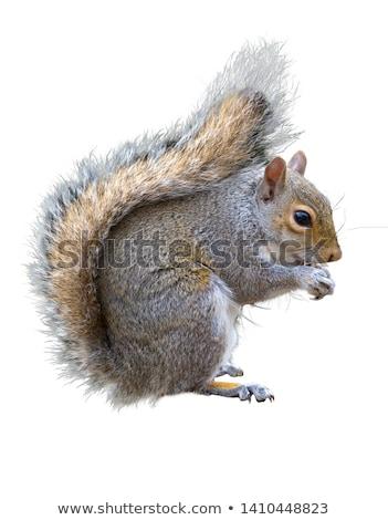 closeup of grey squirrel Stock photo © taviphoto