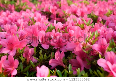 Pink azalea flowers in full bloom Stock photo © AlessandroZocc