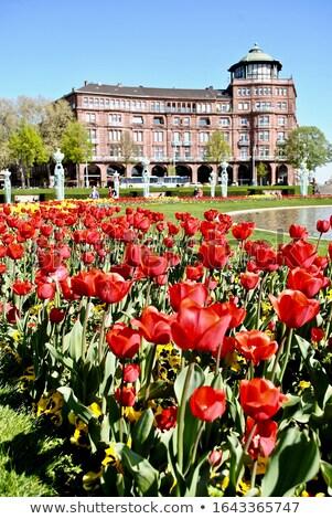 red tulips in baden baden germany stock photo © fisfra