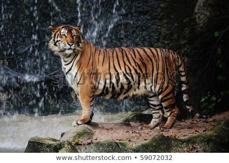 Tigris vízesés állatkert szem test narancs Stock fotó © pinkblue