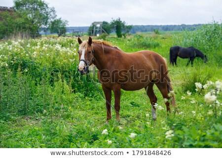 horse 07 stock photo © lianem