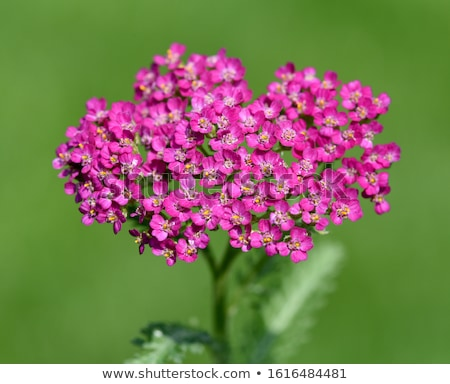 Pink Yarrow herb Stock photo © dinozzaver
