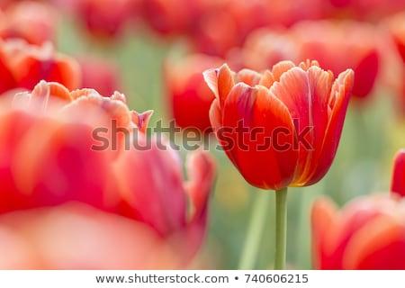Tulips on red bokeh background Stock photo © phila54